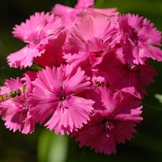 dianthus32chinensis1