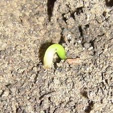 размножение ели семенами