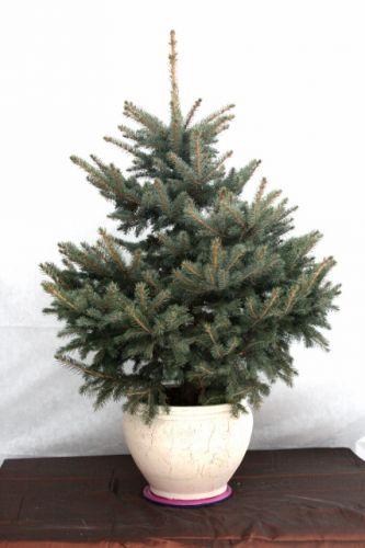 новогодняя елка в горшке