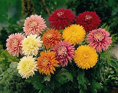 Хризантема (Chrysanthemum) отличается разнообразием цветовой палитры