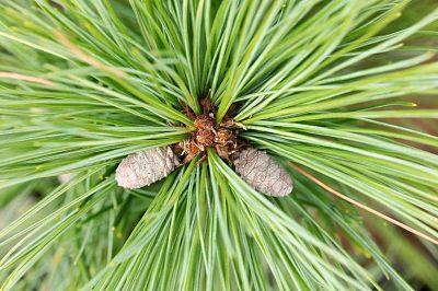 Сосна Веймутова (Pinus strobus) отличается длинной хвоей